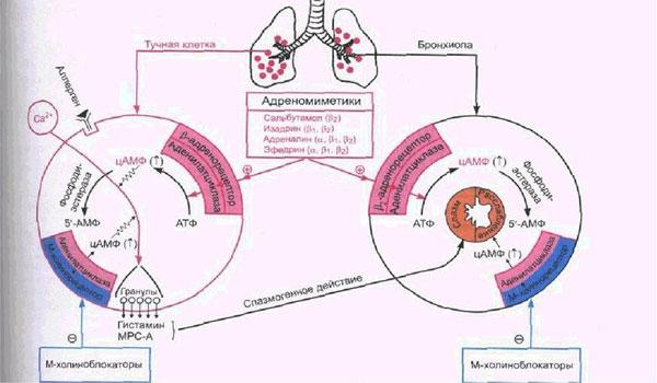 Схема бронхолитического действия адреномиметиков и М-холинолитиков