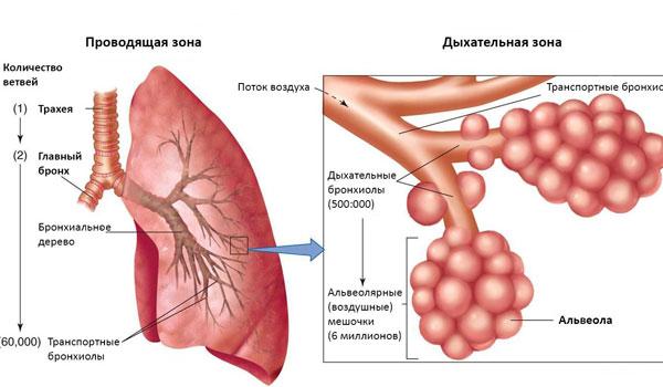 Дыхательные бронхиолы