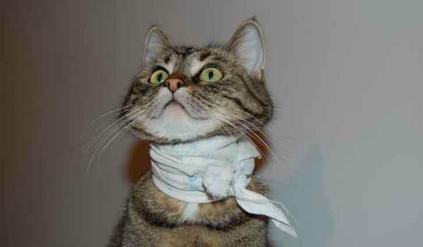 Как проявляется трахеит у кошек и как с ним бороться