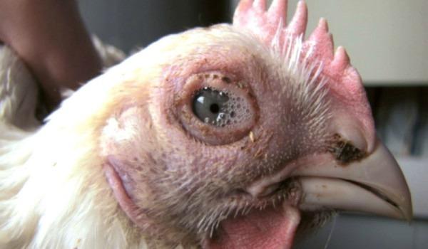 Симптоматика и особенности вируса инфекционного бронхита птиц