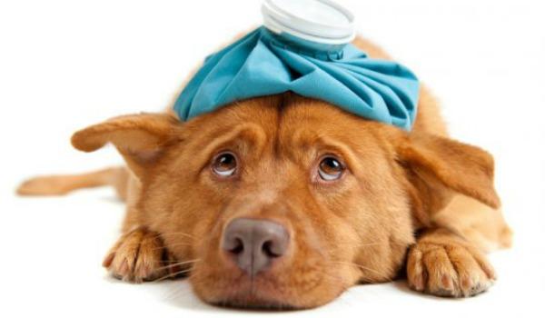 Что делать, если у собаки бронхит: симптомы и лечение